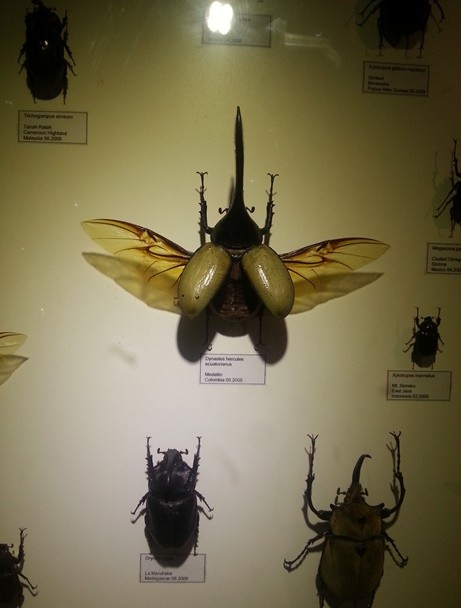 Sumpah kalo gw ketemu kumbang ini hidup2 gw pasti ngacir