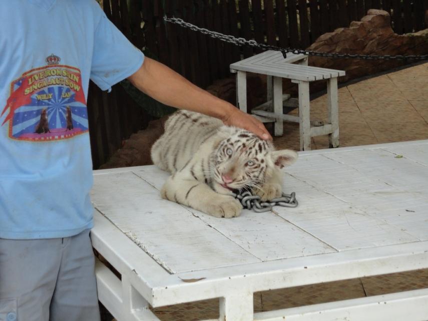 Anak macan putih! Kiyut! Tapi mengunyah rantai besi....