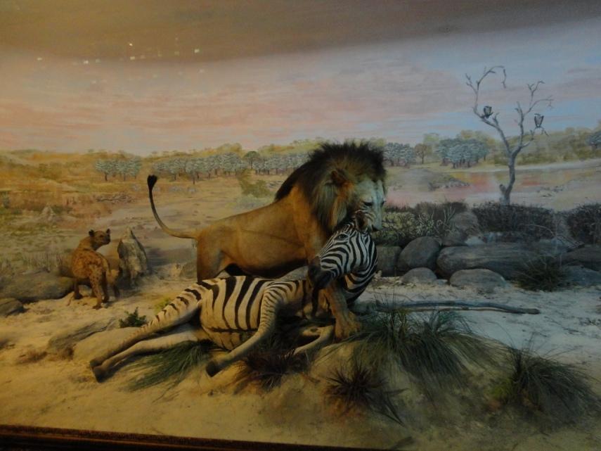 Singa dengan pose baru menggigit Zebra. Eh bukannya yang berburu singa betina ya?