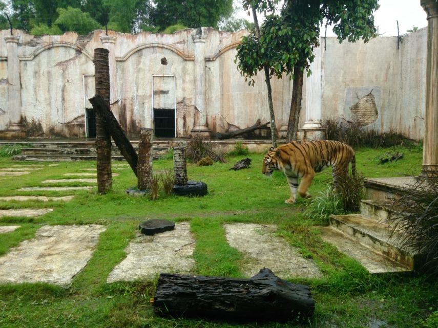 Bengal tiger. Sumpah ganteng banget! (Eh mungkin aja doi betina sih)