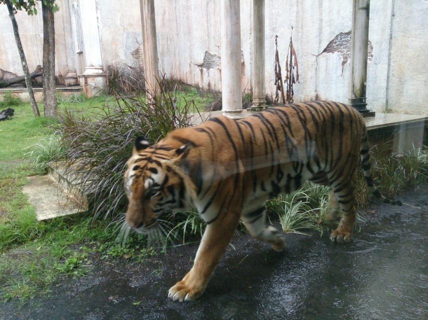 Si harimau Bengal pas lewat di dekat kaca, cakepnya luar biasa