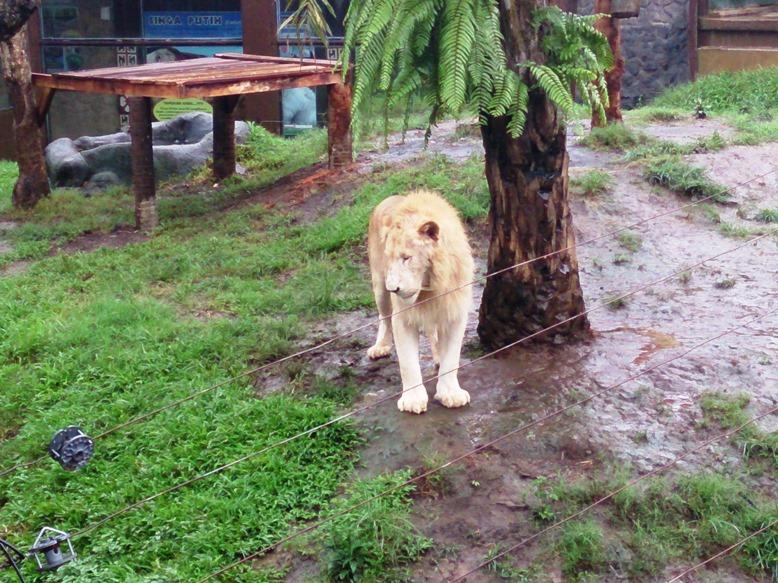 Singa putih!