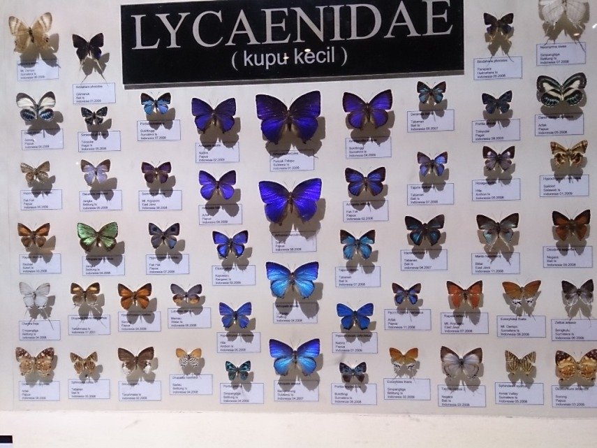Ini baru sebagian kecil saja lho dari koleksi kupu yang ada